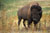 Bison_bison_bison