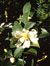Camellia_oleifera