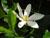 Gardenia_jasminoides