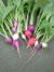 Raphanus_sativus
