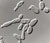 Saccharomyces_pastorianus_cbs_1503