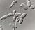 Saccharomyces_pastorianus_cbs_1513